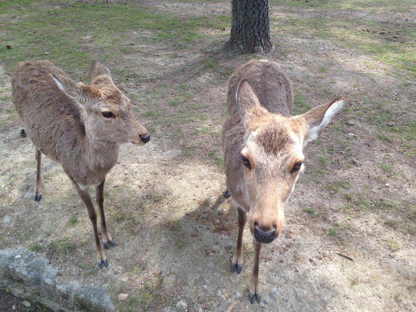 24 hours in Nara deer