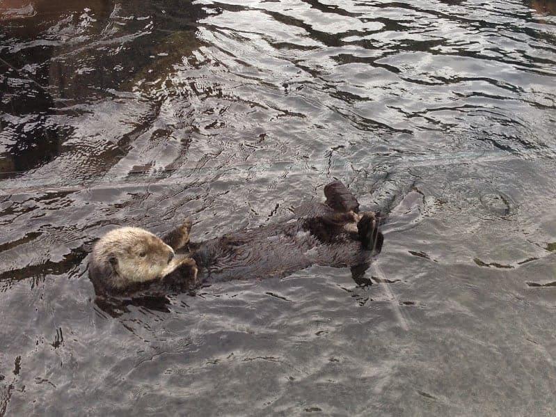 vancouver aquarium otter