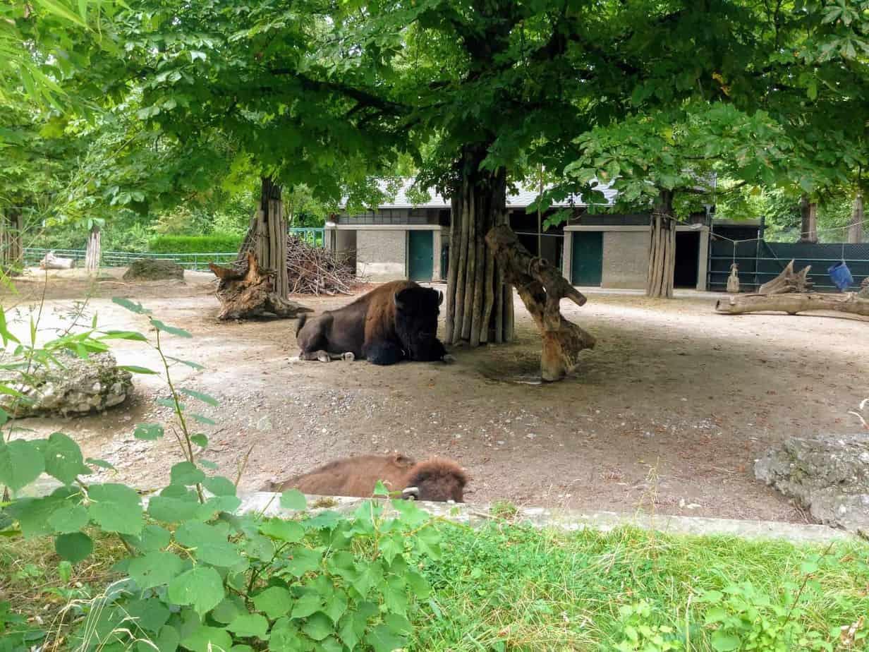 bison tiergarten vienna