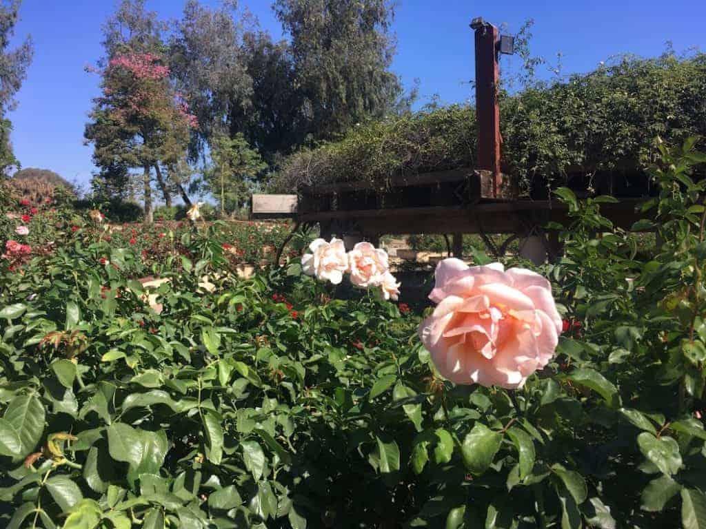balboa park rose garden