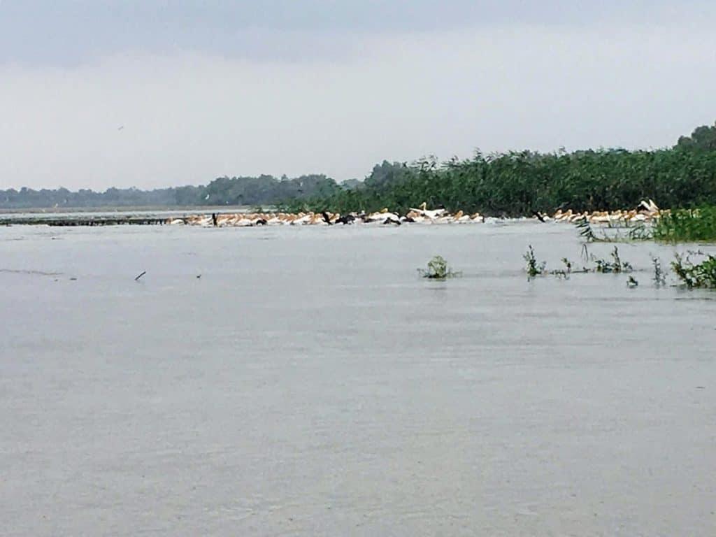 danube delta pelicans