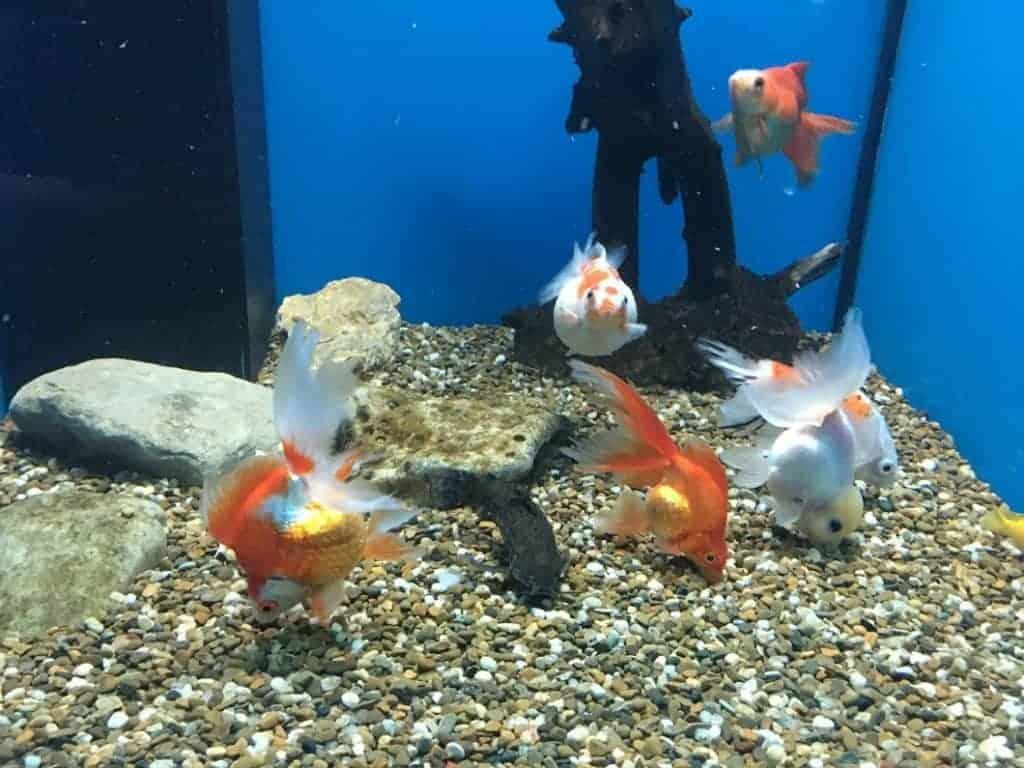 goldfish danube delta