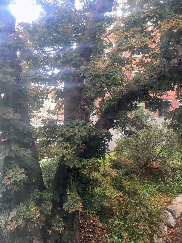 moffatt ladd house horse chestnut tree
