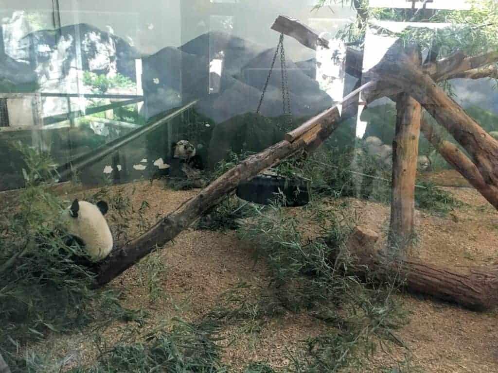 giant pandas zoo atlanta grant park