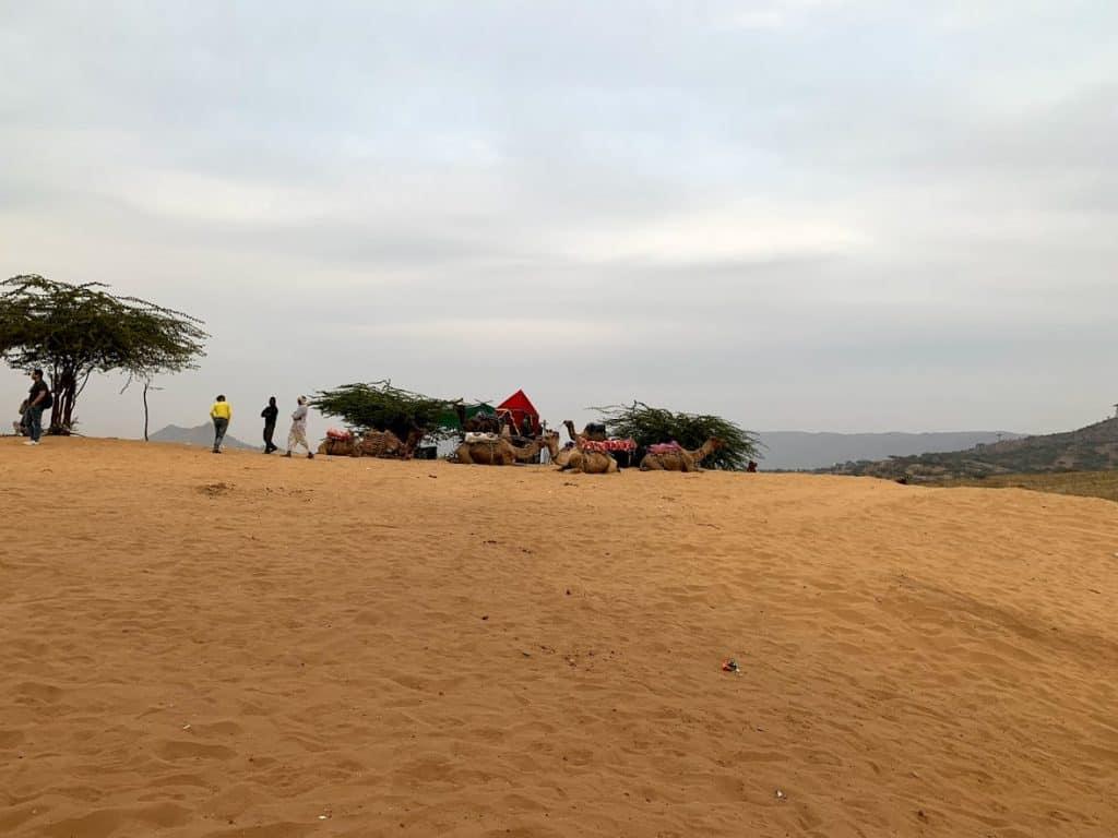 camels pushkar
